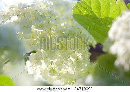 Smooth Hydrangea (hydrangea Arborescens)