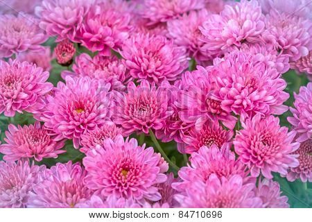 Chrysanthemum (feverfew) Purplish pink flowers