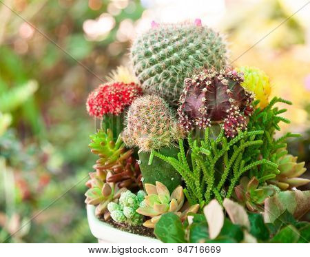 Various Cactus plants  in a pot close-up