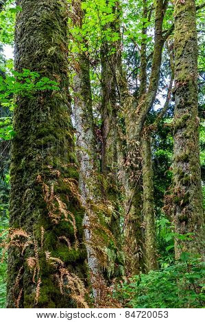 Beautiful Trees in the Lush Pacific Northwestern Rain Forest.