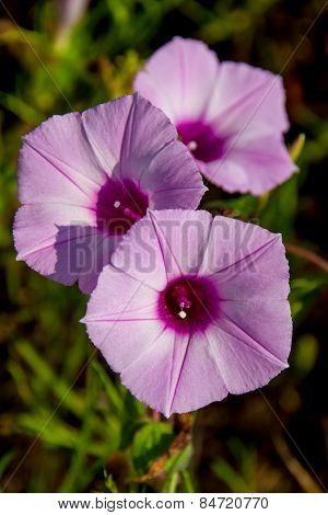 Sharp Bulb Morning Glory (Ipomoea trichocaro) Texas Wildflowers