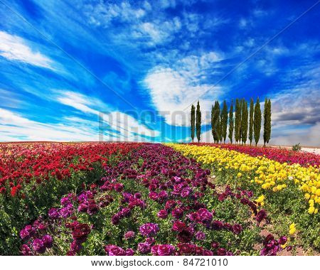 Spring  day. Field of colorful blooming buttercups - ranunculus. On the horizon is growing cypress alley
