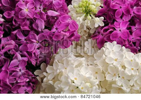 Bouquet of white and pink lilac