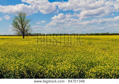 Flowering Canola (Rapeseed) Plants Growing on a Farm in Oklahoma.