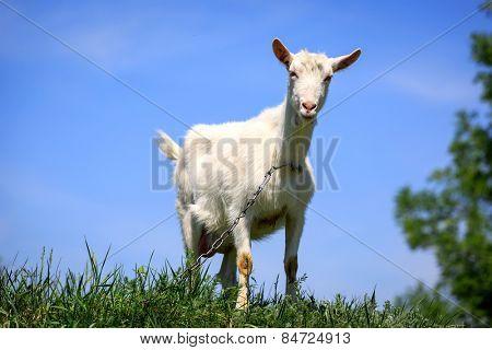 Funny rural goat on grassland