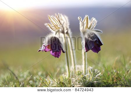 two pasque flowers on meadow