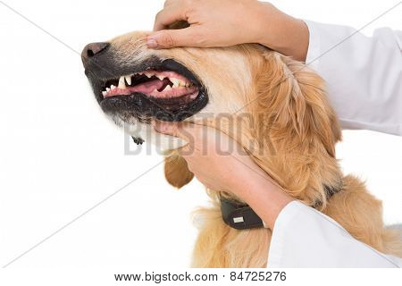 Veterinarian examining teeth of a cute dog on white backboard