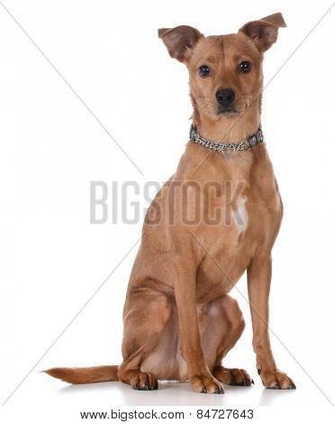 mixed breed dog sitting on white background