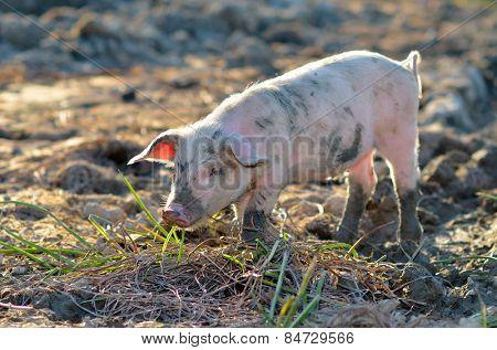 pigs outdoor