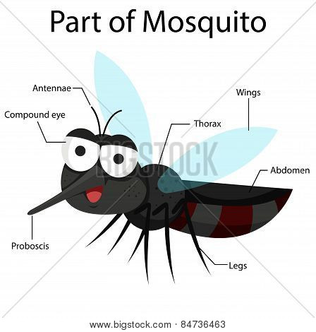 Illustrator parts of Mosquito