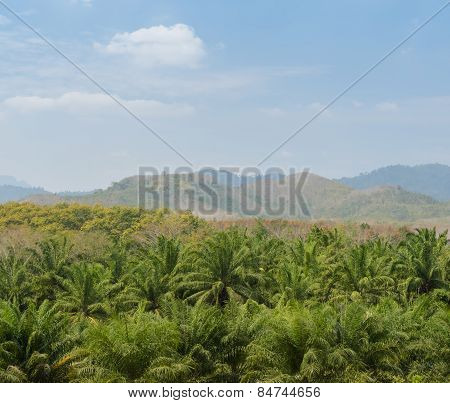 Oil Palm Tree In Thailand