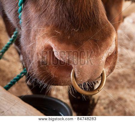 Bull's Nose Ring