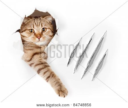 Funny cat in wallpaper hole with claw scratches isolated