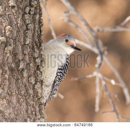 Female Red-bellied Woodpecker climbing up the trunk of an Oak tree in winter