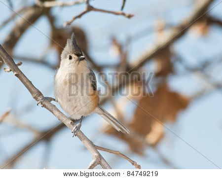 Tufted Titmouse perched in an Oak tree in winter