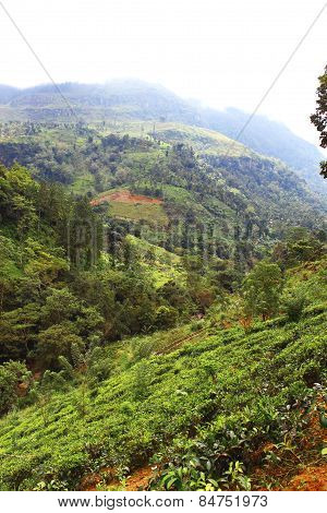 Tea plantations on the slopes of the mountains in Sri Lanka