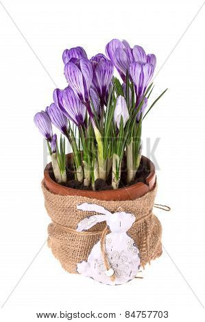 Crocuses In Pot And Easter Rabbit.