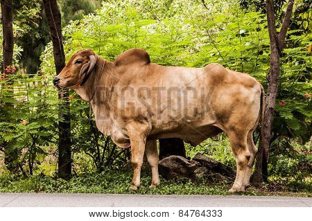 Ox ,bull,cow.