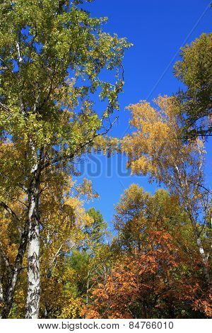 Autumn. Birch tops against blue sky