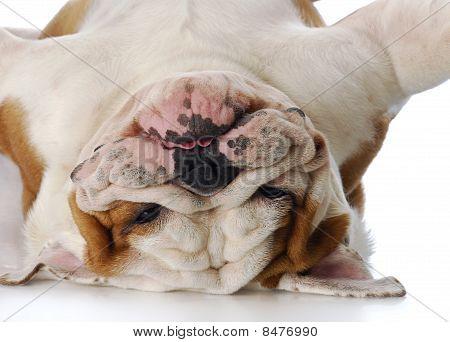 Dumme Bulldog