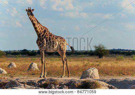 Giraffe At A Water Hole