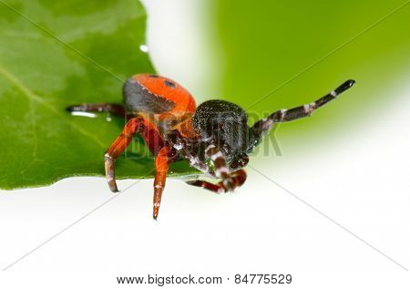 ladybird spider (eresus cinnaberinus)