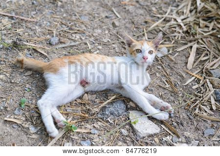 Wounded Kitten,injured Little Cat With Lesion At The Body Stay On The Ground