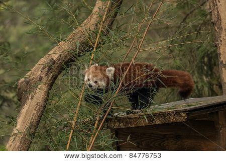Red panda (fire fox) eating bamboo.