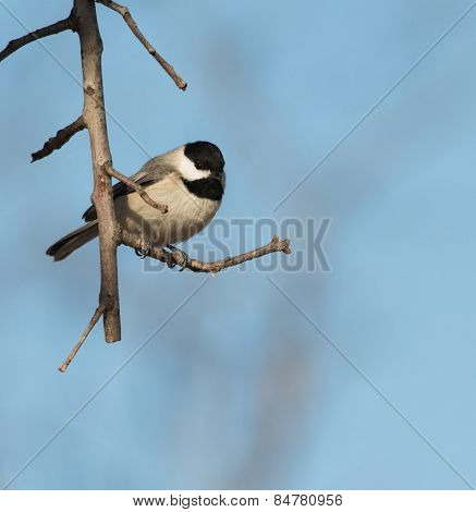 Carolina Chickadee sitting on an Oak branch against winter sky