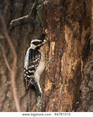Female Downy Woodpecker looking for insects on a tree trunk in winter