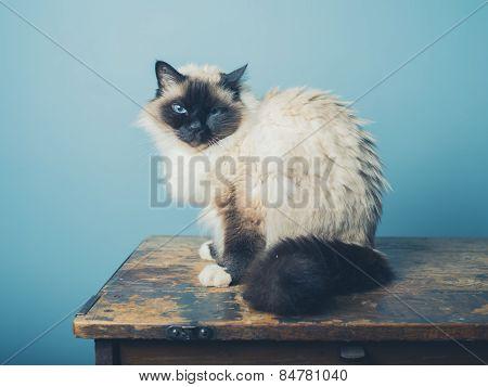 Birman Cat Sitting On A Wooden Desk