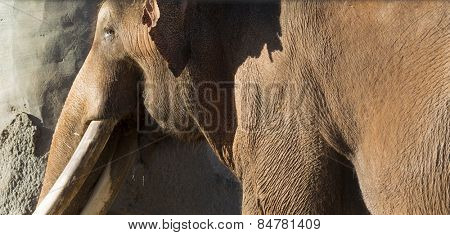 Brown Indian or Asian Elephant on a sunny day