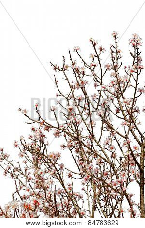 Cherry tree branch full of flower blossoms isolated on a white background
