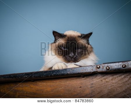 Birman Cat With Grumpy Look On His Face