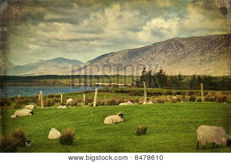 Sheep On A Farm Field In Remote Connemara, West Ireland