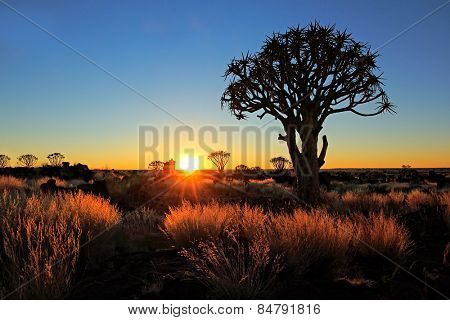Quiver trees (Aloe dichotoma) and golden grasses at sunrise, Namibia