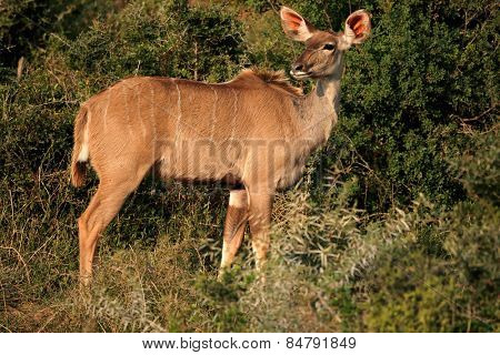 Female kudu antelope (Tragelaphus strepsiceros) in natural habitat, South Africa