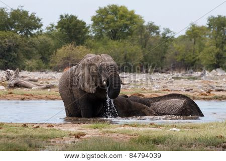 Couple Of Elephants