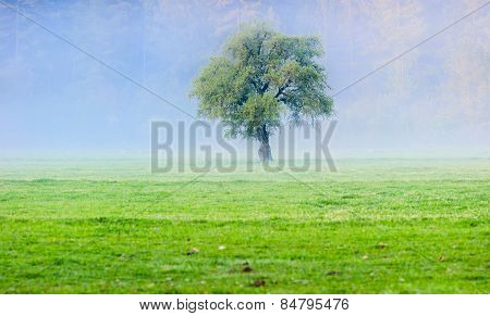 big green lonely tree on the field at foggy sunrise