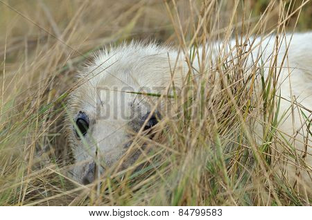 Atlantic Grey Seal Pup