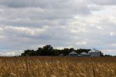 foto of zea  - Metal grain silos for storing cereals and grain at the edge of an agricultural field of ripe corn ready for harvesting as a foodstuff and livestock feed in midwest USA  - JPG
