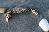 pic of exoskeleton  - Sea crab on sand on a beach - JPG