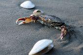 foto of exoskeleton  - Sea crab on sand on a beach - JPG