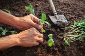 stock photo of house plants  - human hand planting young sunflowers plant on dirt soil use for people activities in gardening and nature topic - JPG
