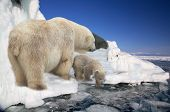pic of polar bears  - polar white she - JPG