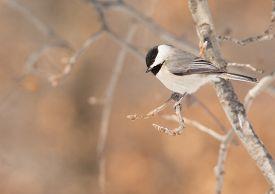 foto of chickadee  - carolina Chickadee sitting on a tree branch - JPG