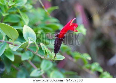 Red Lipstick Flower, Lipstick Plant , Aeschynanthus Radicans Jack Flower