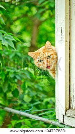 Orange Cat Cries On The Window