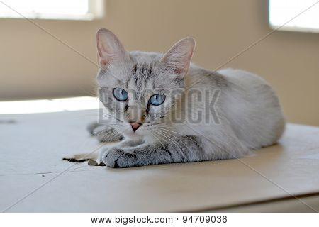 Blue Eyed Beautful Cat, Lynx Point Siamese Mix