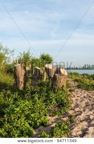 Tree Stumps On The Banks Of A River